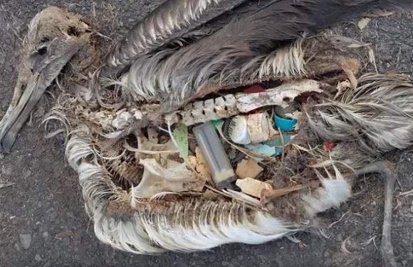 Heartbreaking images of albatrosses killed by plastic