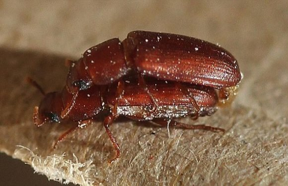 Bisexual beetles don't actually prefer same-sex insects, they're inept