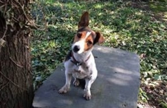 Cambridge Jack Russell who helps students de-stress is left exhausted