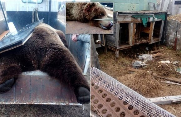 Hungry bear that slaughtered rabbits is shot by hunters