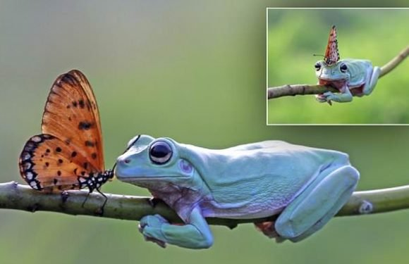 Butterfly appears to kiss frog before taking a rest on its head