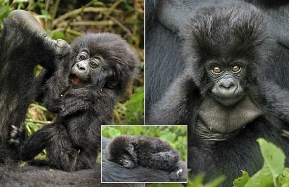 Adorable baby mountain gorilla plays before falling into mummy's tummy