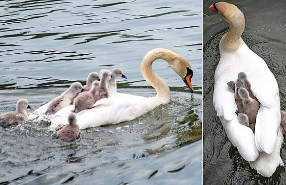 Cygnets get a lift on their mother's back on the River Cam, Cambridge