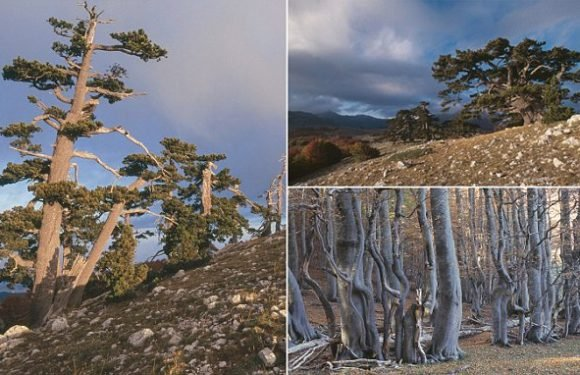 Oldest tree in Europe discovered in Italy — and it's still growing