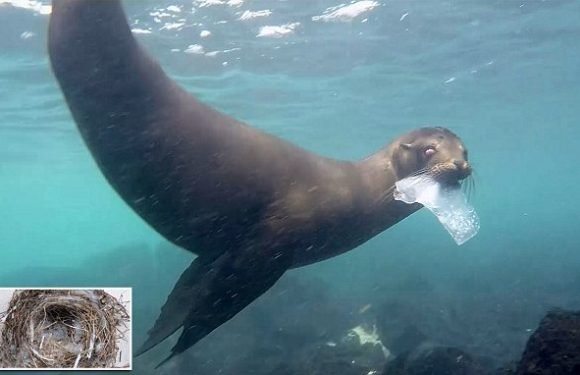 Plastic pollution reaches Darwin's Galapagos Islands