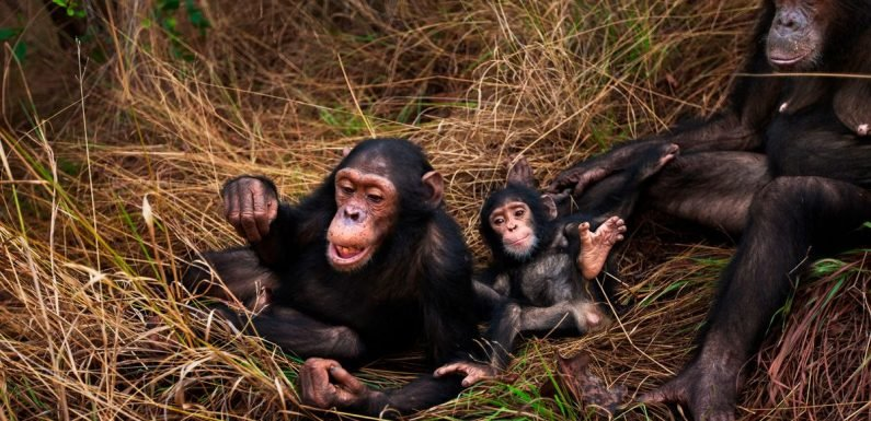 Chimpanzee nests are cleaner than human beds – and it's proven by science