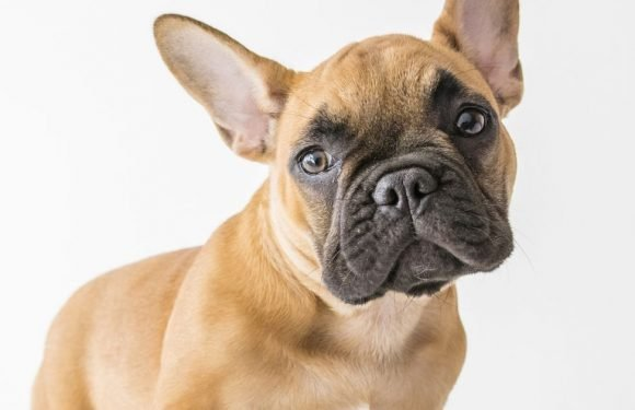 French Bulldogs at risk of health conditions due to their 'extreme features'