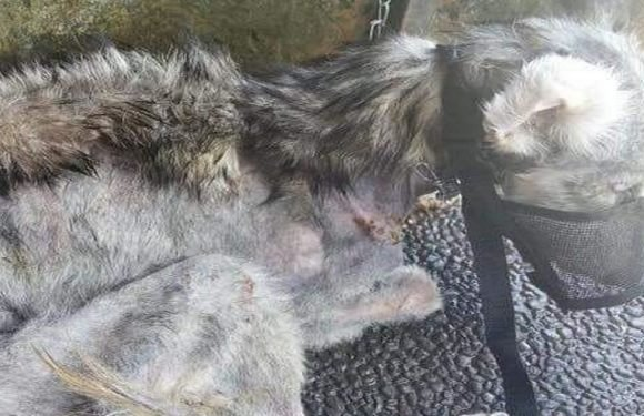 Dog found so badly neglected you couldn't guess what breed she was
