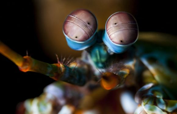 Mantis Shrimp Have The Weirdest Eyes In The Entire Animal Kingdom, Reveals New Study