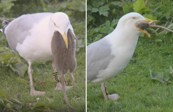 Stomach-churning moment seagull swallows dead rat WHOLE after pecking its body