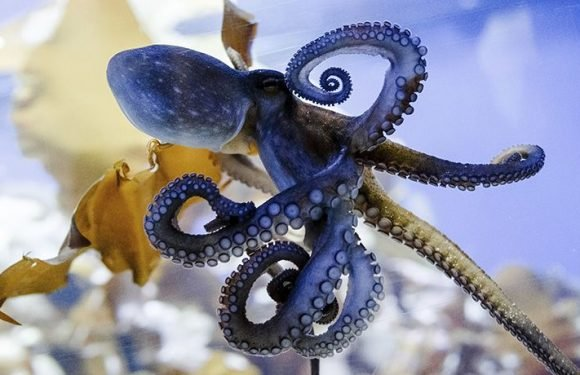 Bizarre Theory Suggests Octopuses Eggs Arrived On Earth On Comet From Space Making Them Aliens