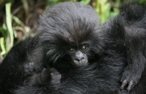 There are now over 1,000 mountain gorillas in the wild