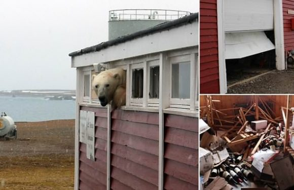 Polar pokes its head out of a store room window after hunting for food