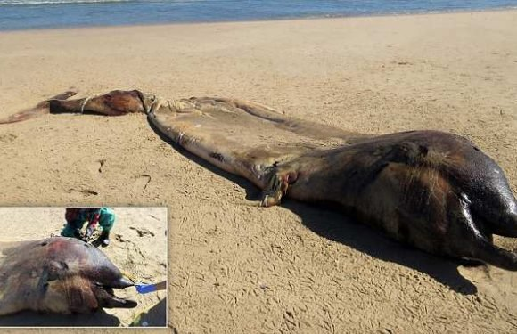 Rotting remains of a 20-foot long sea creature are found washed up