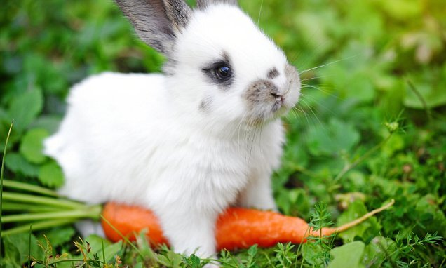 Carrots are bad news for bunnies, the RSPCA warns pet owners