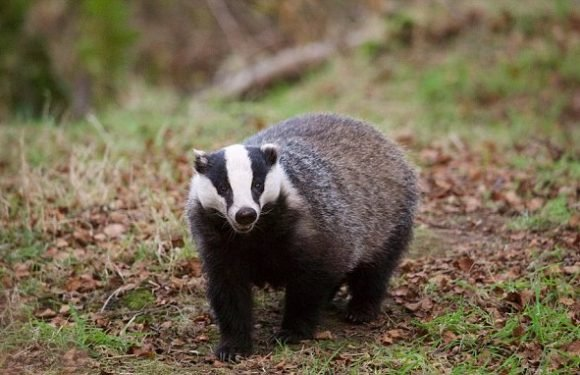Breeding badgers burrow under tarmac and close road for six months