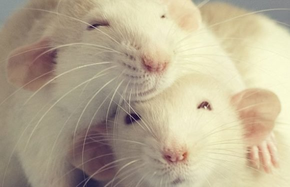 Scientists tickle lab rats in study to improve welfare in captivity