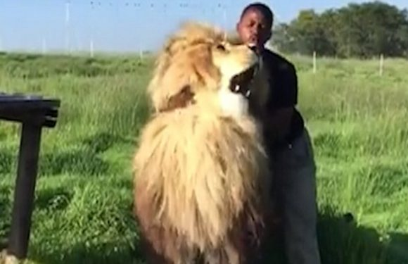 Amazing moment conservationist strokes fully grown male LION