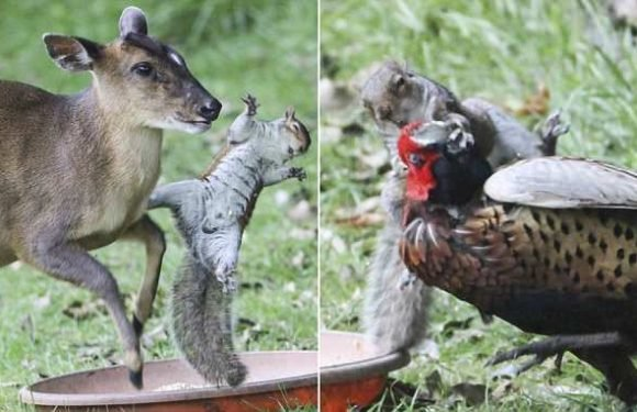 Savage squirrel grapples with deer and wrestles a pheasant