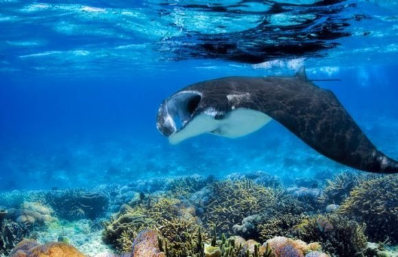 World's First Manta Ray Nursery Discovered By Chance Off The Coast Of Texas
