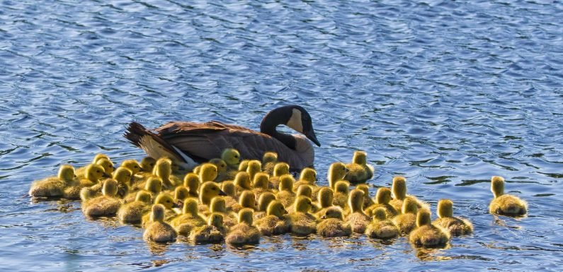 Giant gaggle of FIFTY-ONE goslings go for a swim with their mum across Canadian lake for the first time