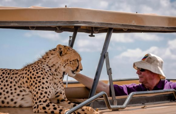 Tourists get up close and personal with cheetah as it leaps on top of their safari jeep