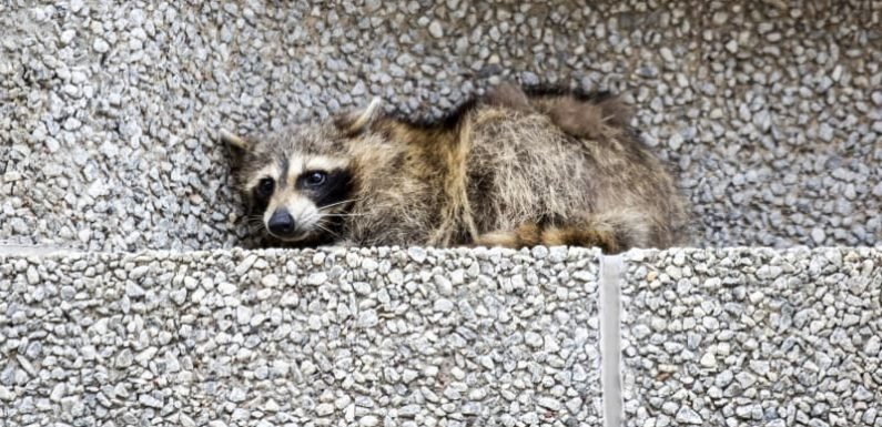 Raccoon set free after scaling 25-storey tower