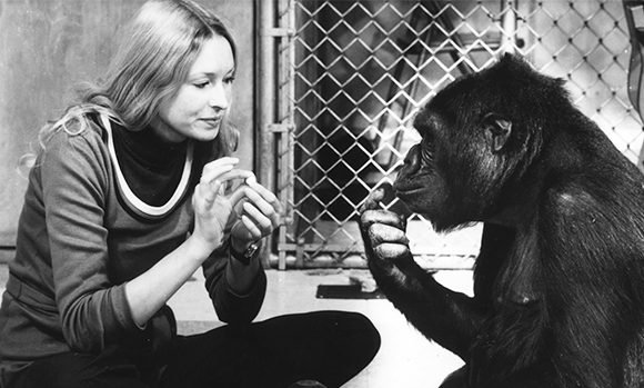 Koko The Gorilla: 5 Things To Know About Sign Language Ape Who Sadly Died At 46