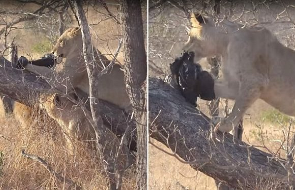 Young lion plays with a black plastic bag in Kruger national park