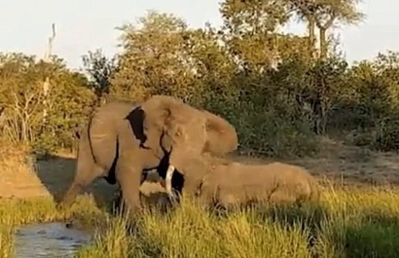 Moment elephant attacks endangered rhino before guide distracts it