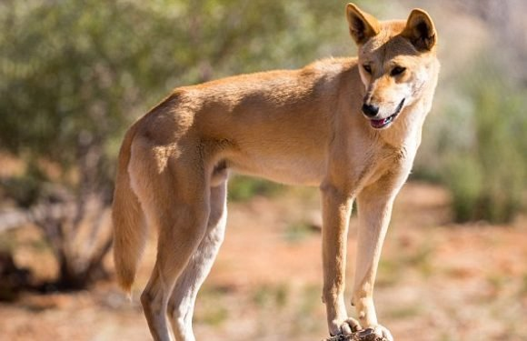 Dingoes arrived in Australia 1,500 years later than first thought