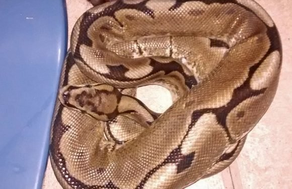 Homeowner wakes up to find enormous three-foot PYTHON sharing her bed