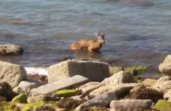 Deer that swam four miles from Isle of Wight to Portsmouth drowns during rescue
