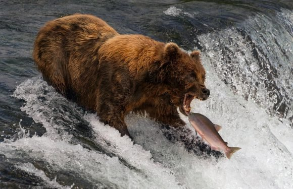 Dazzling snap of a bear tucking into a fish has bagged Brit snapper Nick Dale the top spot in an international photo contest