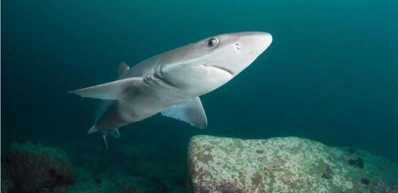 Newly Discovered Dogfish Shark Species Named After Famous Explorer Known As The 'Shark Lady'