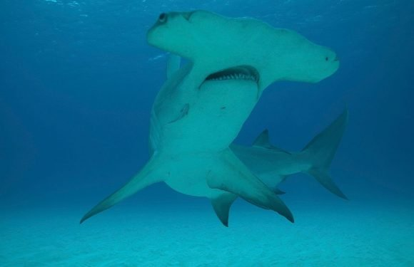 Britain's waters could become teeming with sharks in the future, claim experts