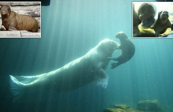 Walrus calf makes his first public appearance at a German zoo