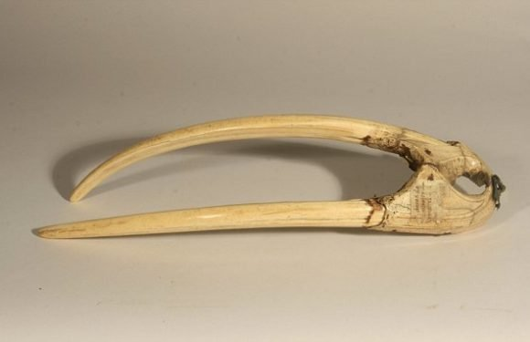 Collapse of the walrus ivory trade triggered a crisis for the Vikings