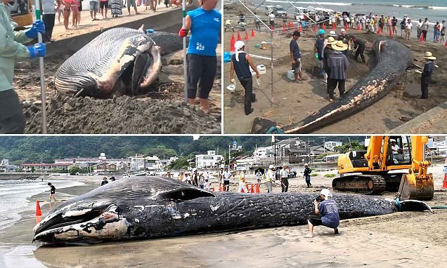 Dead 10-metre blue whale calf washes up on a beach in Japan