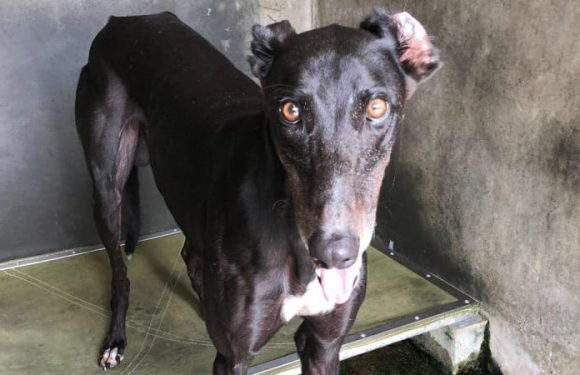 Political courage gone to the dogs after switch on greyhound racing