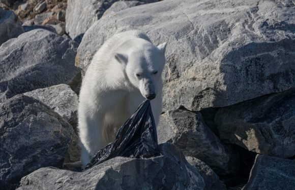 Polar bear seen chewing on a plastic bin bag in desperate attempt to find food on bone-dry rock face