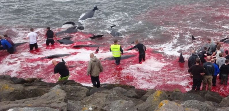 Horror 'sea of blood' left behind by annual whale cull on remote Arctic island