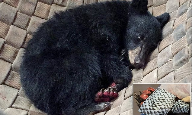 Bear cub burned in California wildfire gets 'fish-skin' bandages