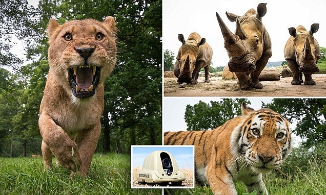 Incredible 'beetlecam' reveals what it's like to get up close to lions