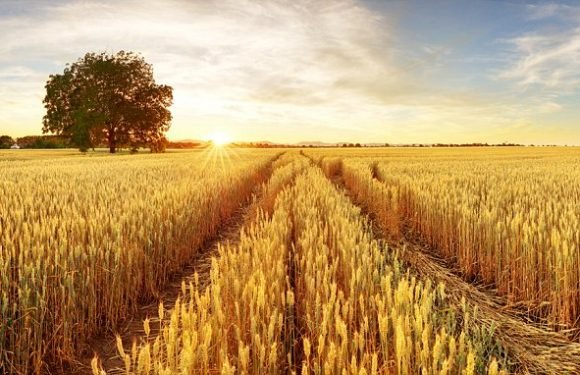 Genetic make-up of wheat has been decoded for the first time