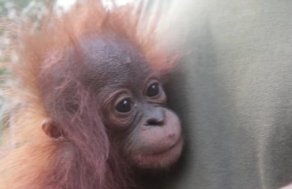 Baby orangutan rescued alone from a palm oil plantation in Indonesia