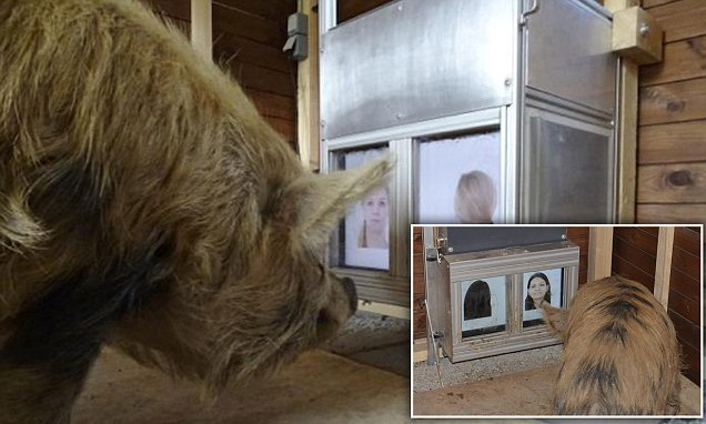 Pigs can recognise human faces