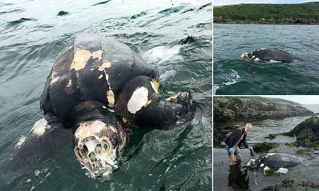 100-year-old turtle 'the size of a boat' found in Cornwall