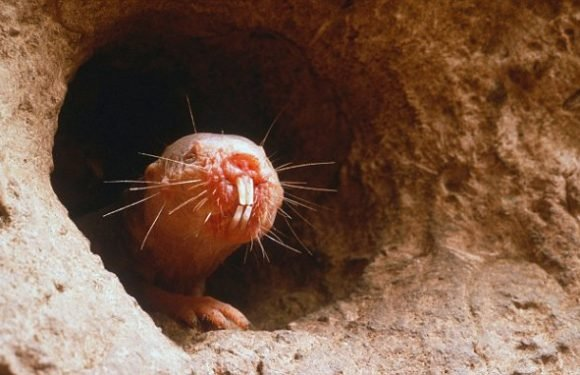 Naked mole rats consume their queen's poop to become doting mothers