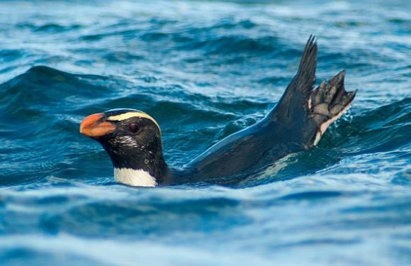 New Zealand penguins swim 50 MILES per day to during brutal migration